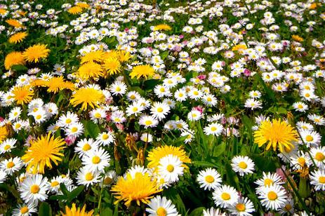 Blumenwiese in Wenningstedt auf Sylt
