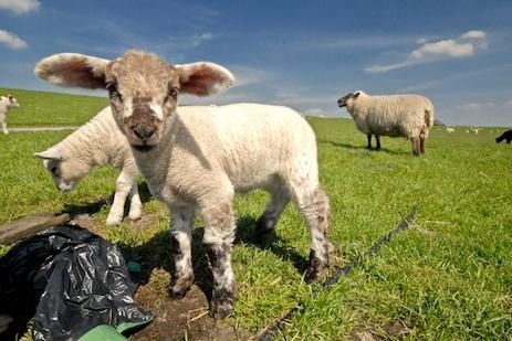 Lammtage auf Sylt